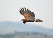 鹰 图库摄影