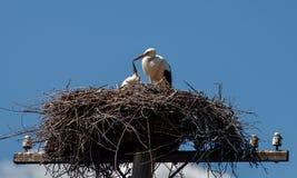 鹳喂养在巢的小鸡在一根被放弃的电杆反对蓝天 免版税库存照片