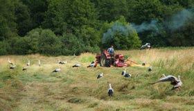 鹳在割晒牧草期间的草甸 免版税图库摄影