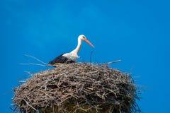 鹳在好的天气和天空蔚蓝的巢站立 库存照片