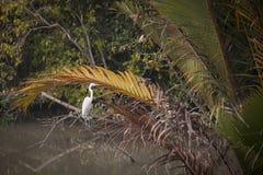 鹳在孙德尔本斯国家公园在孟加拉国 免版税库存图片