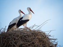 鹳在巢的Cicocina ciconia夫妇  库存图片