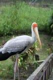 鹳在看照相机的鸟公园 免版税库存图片