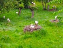 鹳在草甸和在巢 库存照片
