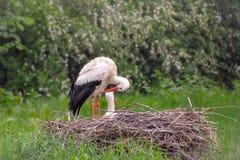 鹳在草甸和在巢 免版税库存照片
