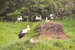 鹳在草甸和在巢 免版税库存图片