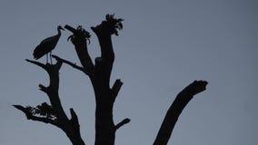 鹳坐树干反对灰色天空背景  股票视频