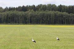 鹳夫妇在一个草甸站立在爱沙尼亚 图库摄影