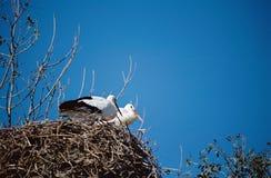 鹳夫妇在巢的 免版税库存照片