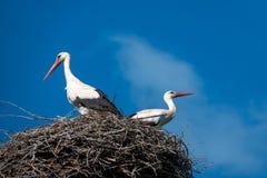 鹳夫妇在巢站立,当天气是好的时,并且天空是蓝色的 免版税库存图片