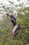 鹳夫妇在树的上面栖息 库存照片