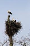 鹳夫妇在树, Brummen,荷兰的 库存图片