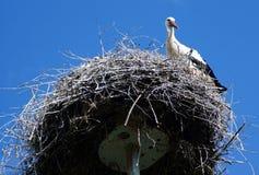 鹳守卫它的巢 免版税库存图片