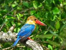 鹳开帐单的翠鸟/Pelargopsis海角/翠鸟鸟 库存照片