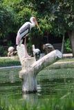 鹳苍鹭树桩水 免版税图库摄影