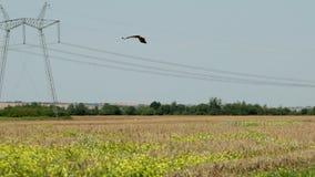 鹳飞行在收获农夫很远在背景中的领域 r 股票录像