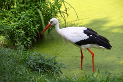 鹳鸟 免版税图库摄影