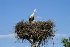 鹳` s巢、自然鹳` s巢、小狗和鹳` s筑巢,在屋顶的鹳图片, 库存照片