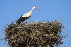 鹳` s巢、自然鹳` s巢、小狗和鹳` s筑巢,在屋顶的鹳图片, 免版税库存照片