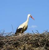 鹳` s巢、自然鹳` s巢、小狗和鹳` s筑巢,在屋顶的鹳图片, 免版税图库摄影