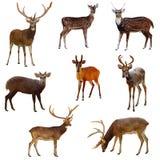 鹿。 免版税库存图片
