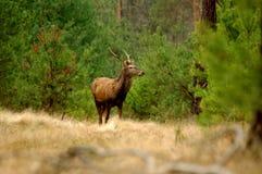鹿。 免版税库存照片