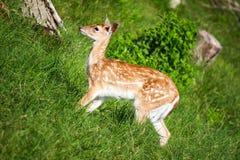 鹿一点 可能bamby ? 免版税图库摄影