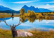 鹿以分支的垫铁休息 图库摄影