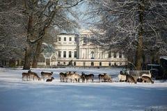 休息在美丽的老豪宅前面的公园的鹿 免版税库存图片