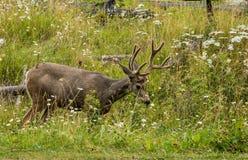 鹿休息 鹿吃一棵草 免版税库存图片