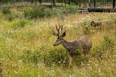 鹿休息 鹿吃一棵草 免版税图库摄影