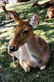 鹿休息 图库摄影