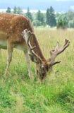 鹿休闲地 库存图片