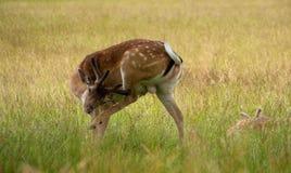 鹿公园里士满 免版税库存图片