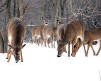 鹿冬天 库存照片