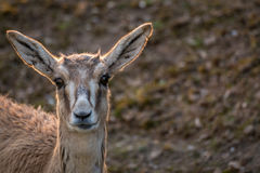 鹿前面画象射击,特写镜头外缘光 免版税库存图片