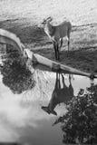 鹿反射在水中 库存照片