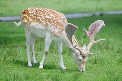 鹿吃 免版税库存图片