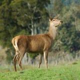鹿后面红色 库存照片