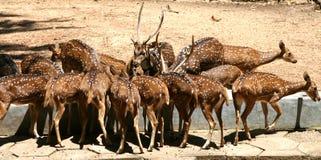鹿听到了被察觉的公园 免版税库存图片