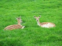 鹿和母鹿 图库摄影