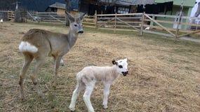 鹿和羊羔 库存照片