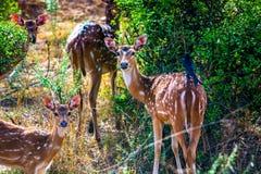 鹿和鹿家庭 免版税库存图片
