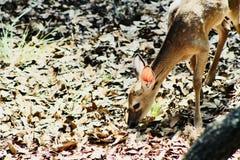 鹿哺养 免版税图库摄影