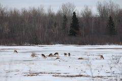鹿哺养 库存照片