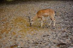 鹿喝 免版税库存图片