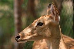 鹿国家公园 库存照片
