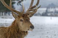 鹿在一个冬日之前 图库摄影
