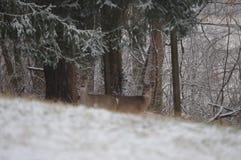 鹿在一个多雪的围场 库存图片