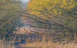 鹿在一个森林里在阳光下在冬天 库存照片